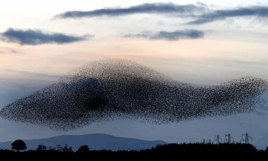 Murmurations … starlings on the Scottish borders.