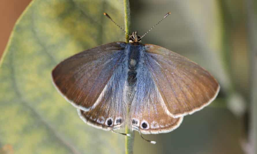 Long-tailed blue butterflies, associated with hot regions, could be become regular migrants to Britain. One observer has recently seen 50 here in three summers.