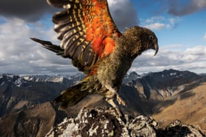 The endangered kea with wings spread in New Zealand