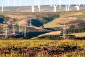 The Lammermuir grouse moors in the Longformacus, Duns, Berwickshire, in the South East of Scotland. Most Grouse shoots have cancelled their seasons due to the birds population being hit hard by extreme weather, both hot and cold. Grouse shooting is worth £23m to the rural economy.
