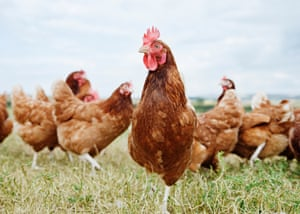 Chickens standing in a field.
