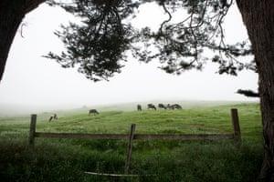 """Vacas pastam em West Marin.  """"É um local realmente único"""", diz Conley."""