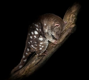 A tiger quoll