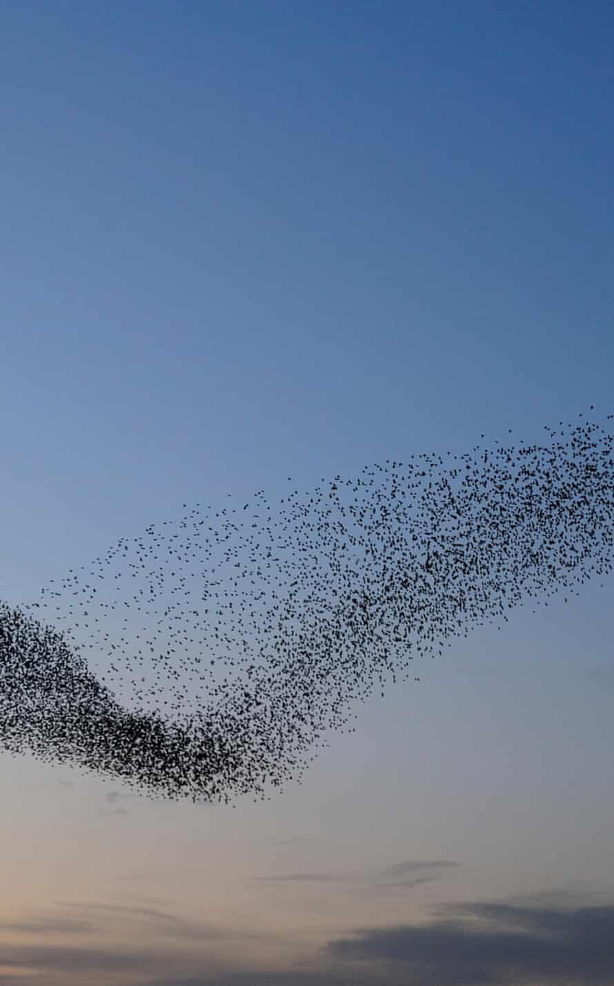 Starling, Sturnus vulgaris, murmuration at RSPB Minsmere