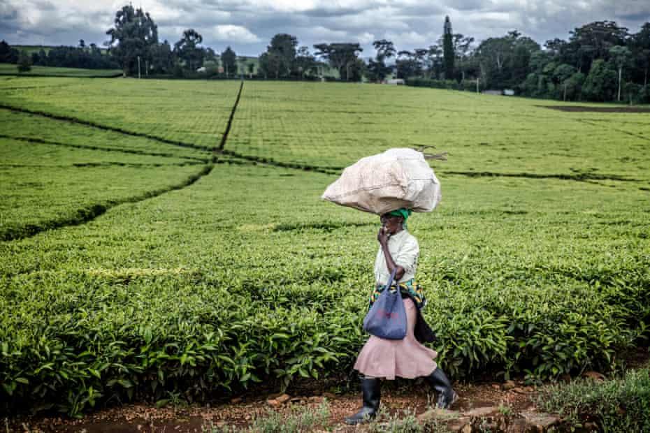 Kericho hosts vast tea estates