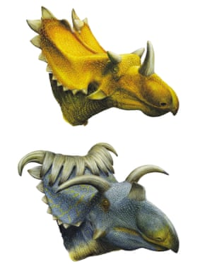 Artist's reconstructions of the dinosaurs Utahceratops (top) and Kosmoceratops (bottom). Cousins of the famous Triceratops.