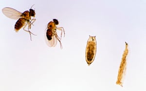 Life cycle stages of the fruit fly, Drosophila sp, showing larva, pupa, adult male (dark abdomen) and adult female