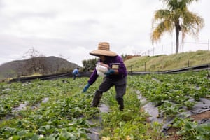 Amparo Sanchez, a 73-year-old from Michoacán, Mexico, picks organic strawberries in Valley Center, California.