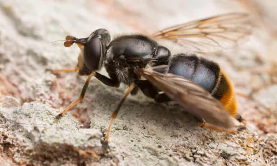 The pine hoverfly, the UK's rarest insect.