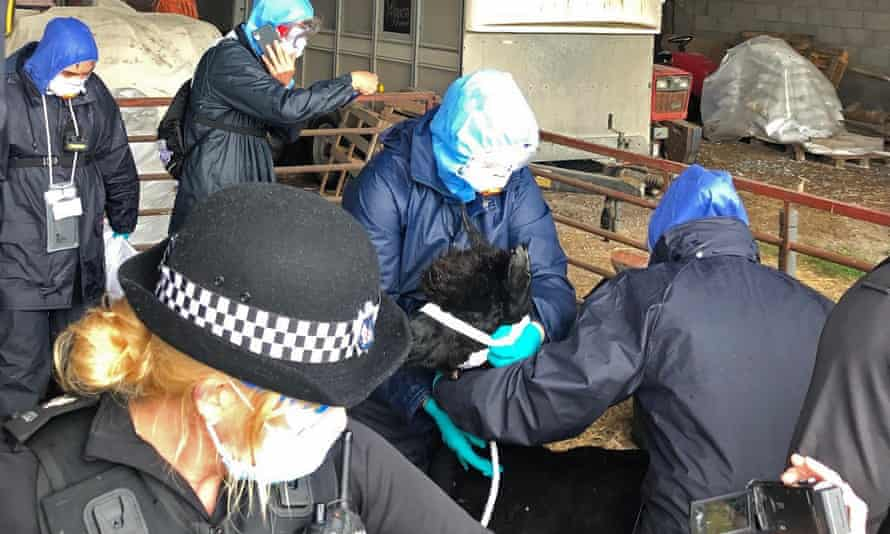 Workers, who arrived with a police escort, surround Geronimo the alpaca at Shepherds Close Farm.
