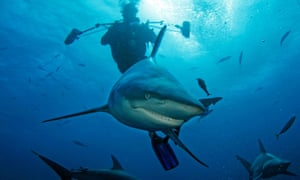 Diving with sharks off the South African coast.