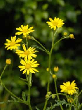 Ragwort … 'a little cheery bit of yellow between the railway tracks.'