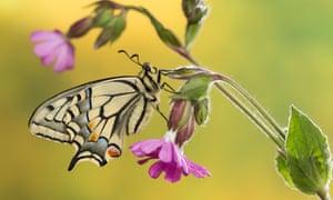 Common yellow swallowtail.