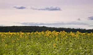 Sunflowers at Haltia.
