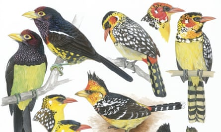 Barbets by Martin Woodcock from The Birds of Africa, Volume III