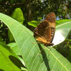 Mariana eight-spot butterfly adult