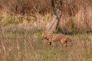 A golden jackal picks its way through shallow water in Romania's Danube delta