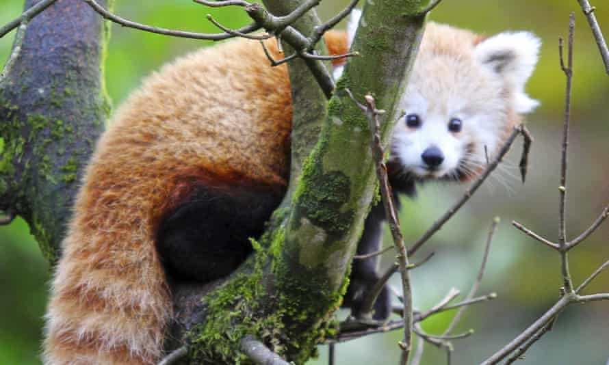 One of Belfast zoo's red pandas