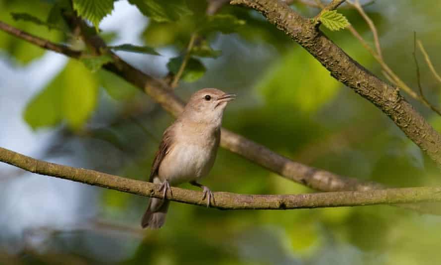 Garden warbler (Sylvia borin), sitting on a branch singing