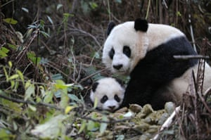 The survey gave respondents a list of species and asked them whether they believed them to be threatened with extinction. Some 32% didn't realise the giant panda was endangered