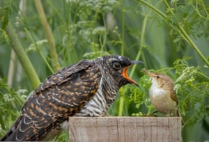 A reed warbler feeding a cuckoo chick.