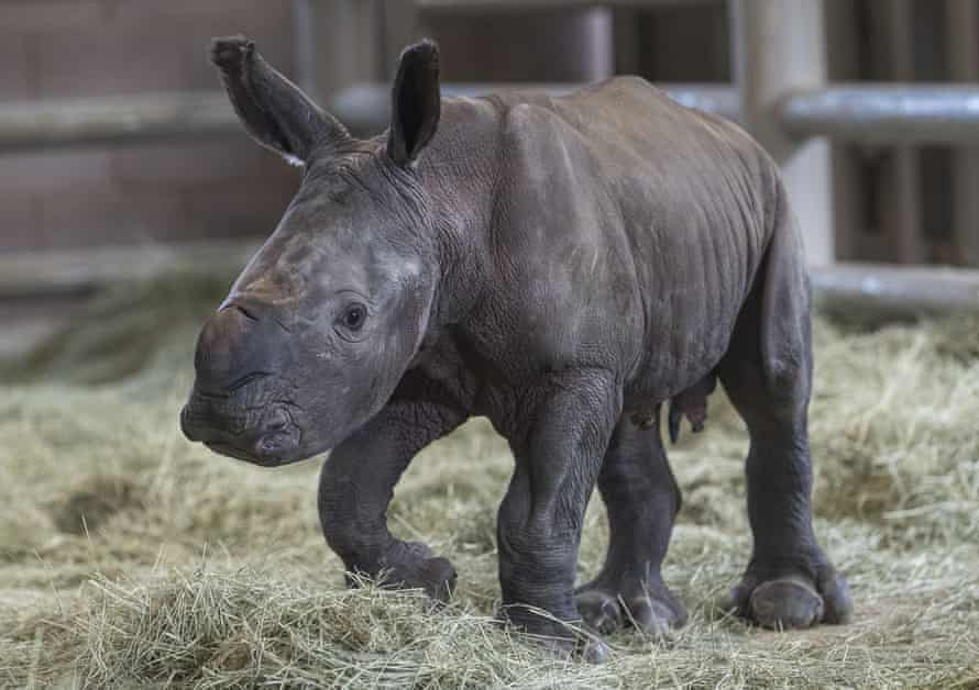 The calf stands on its wobbly legs at the zoo's Nikita Kahn Rhino Rescue Center.