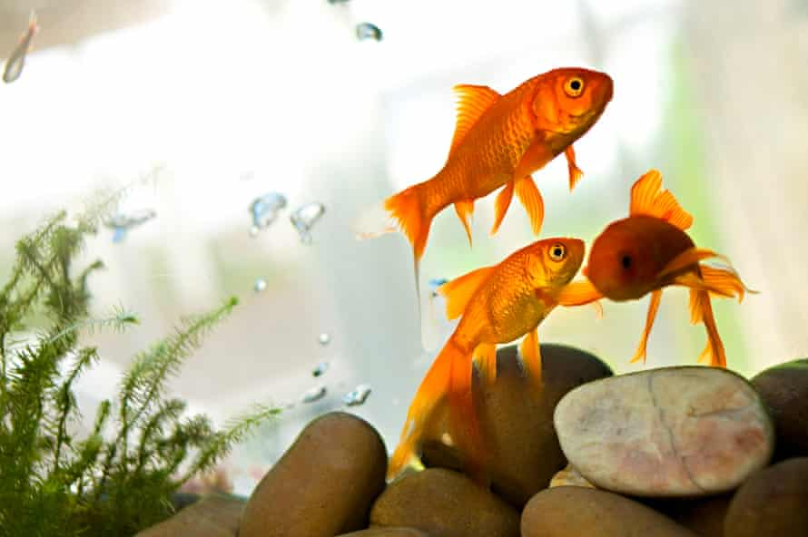 Goldfish are sociable, so having three in a tank is best.