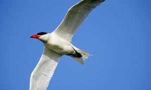 A Caspian tern