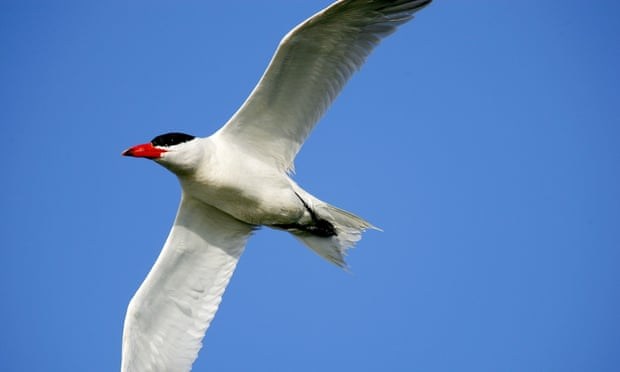 Terns follow record warm temperatures in 'shock' migration