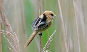 Bearded tit (Panurus biarmicus) clinging to a reed stalk