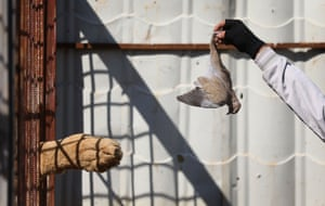 Mosul, Iraq A volunteer feeds a lion