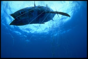 Tuna caught in a Japanese driftnet in the Tasman Sea