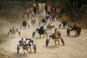 Chonburi, Thailand: disabled dogs in mobility aids are seen during a daily walk at the Man That Rescues Dogs Foundation