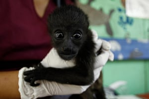 A rescued baby howler monkey