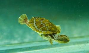 Bellinger turtle hatchling, 2020