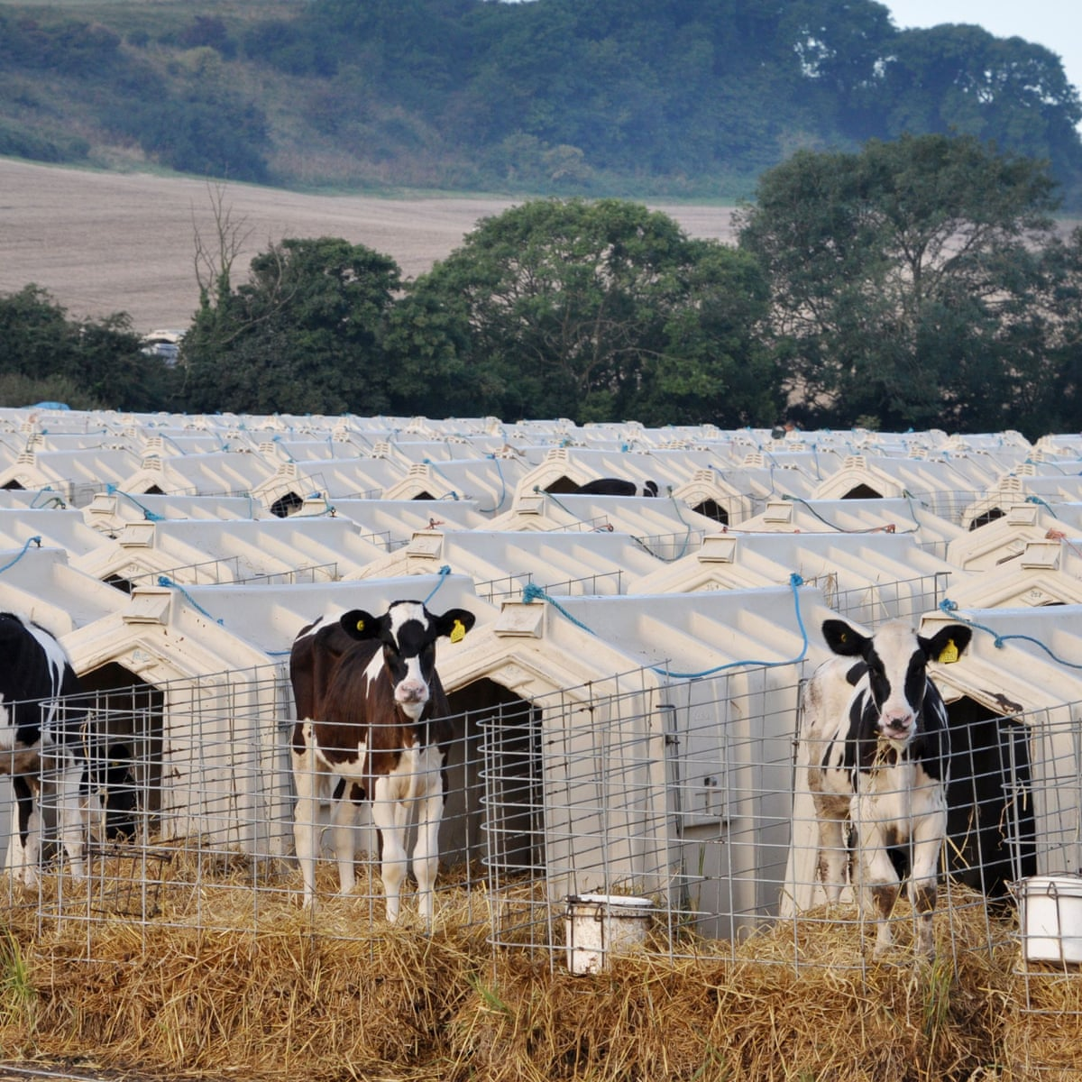 Dairy Is Scary The Public Are Waking Up To The Darkest Part Of Farming Farming The Guardian