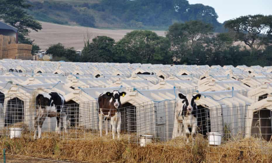 Animal Equality's photograph of calves penned in solitary hutches at Grange Dairy in East Chaldon, Dorset.