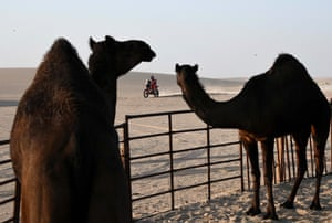 Haradh, Saudi Arabia. A biker rides past camels as he competes during stage 10 of the Dakar Rally 2020