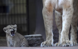 Erfurt, Germany. A little lion roars beside its mother at the zoo