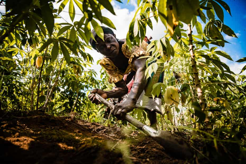 A woman scrapes weeds from a cassava field near Okwale.
