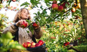 A backpacker picks apples during harvest in a fruit orchard.