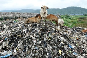 Cows on a pile of garbage, at one of the largest disposal sites in Northeast India in the Boragaon area