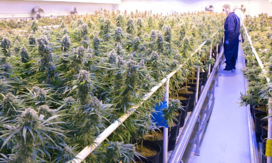 Tilray's medicinal cannabis growing facility, Canada