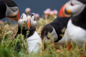 Young puffins