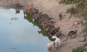 Kangaroos compete for water in New South Wales, Australia