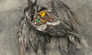 Dead seabird with a large amount of plastic debris in its stomach.