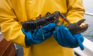Lobster caught between Iona and the Ross of Mull, where creel fishing predominates