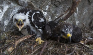 A pair of seven and a half week old golden eagle chicks sit on their nest at a remote nest site near Loch Ness.