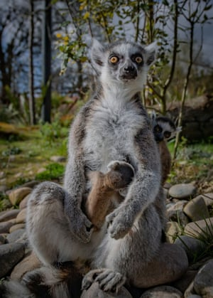 Chester, UK Recently born Madagascan ring-tailed lemur twins on their mother at the city's zoo