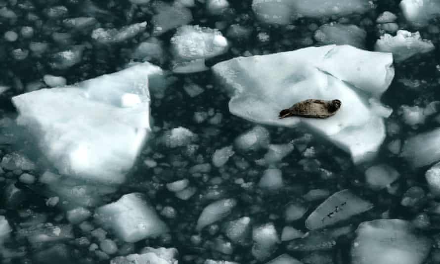 A seal rests on ice in Glacier Bay, Alaska.